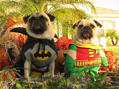 cute pug Robin and Batman