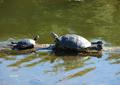 turtle yoga - turtles photo