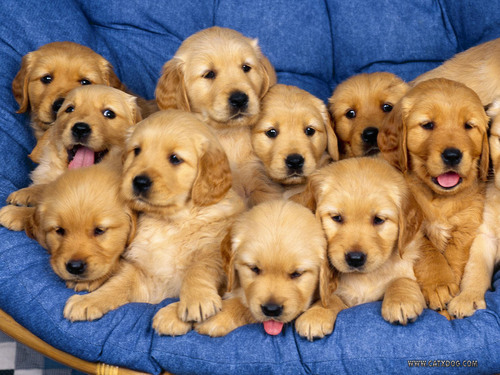 Puppies wallpaper with a golden retriever entitled Aaaaaawwwwwwwwww Sweet !!