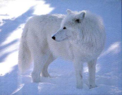 Arctic serigala, wolf