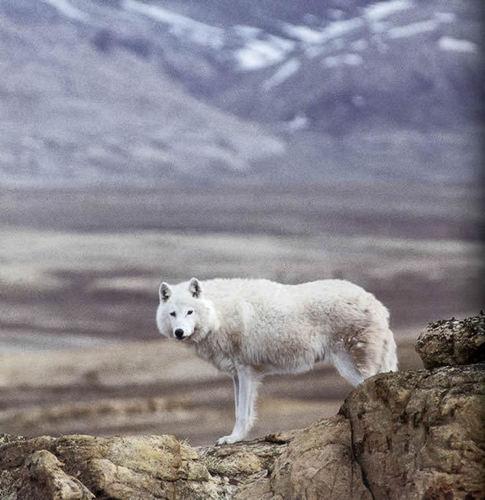 Arctic 狼