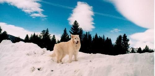 Arctic lupo
