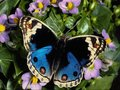 Beautiful mariposas