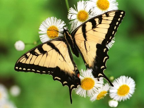Butterflies wallpaper entitled Beautiful Butterflies