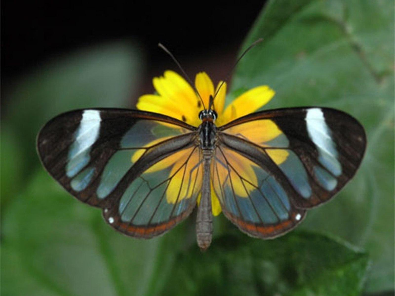 Gorgeous Glasswing Butterflies 42 Stunning Photos