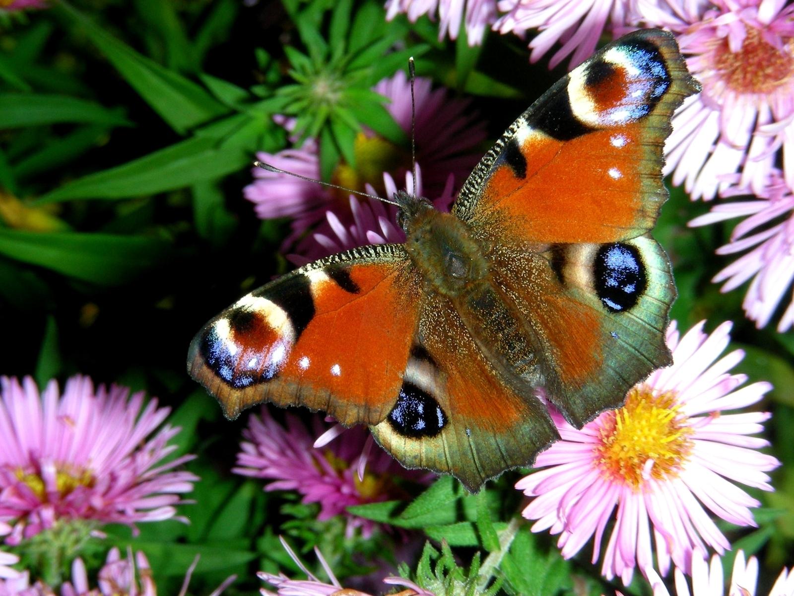 Beautiful Butterflies - Butterflies Wallpaper (9481795 ...
