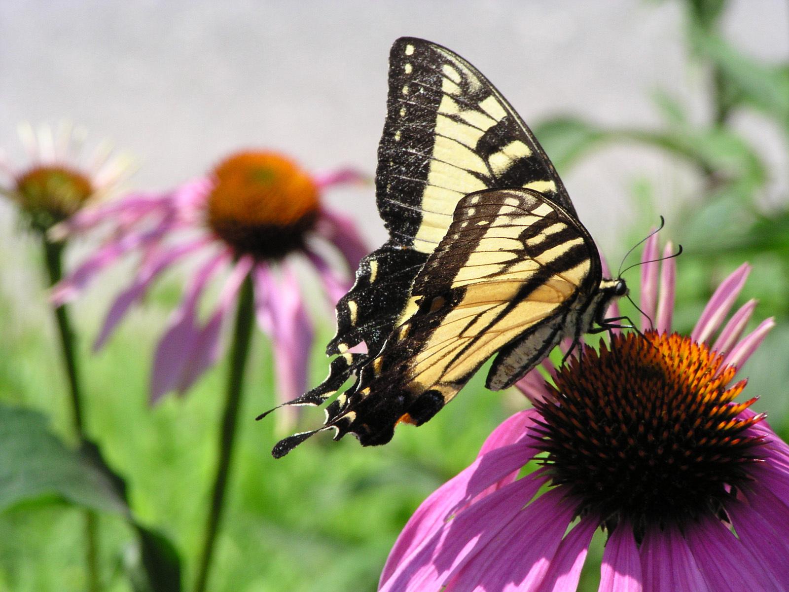 Beautiful mariposas