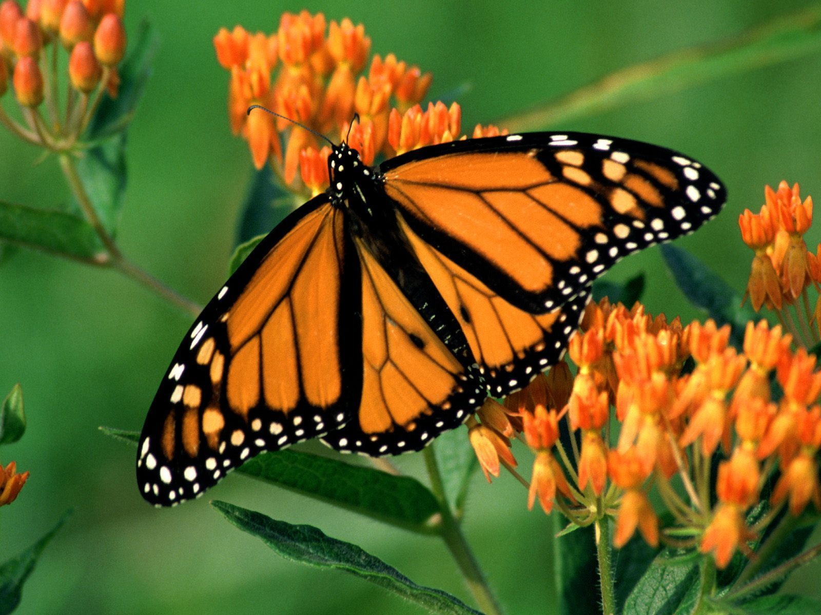 Beautiful butterflies butterflies wallpaper 9481947 for Butterfly in a flower