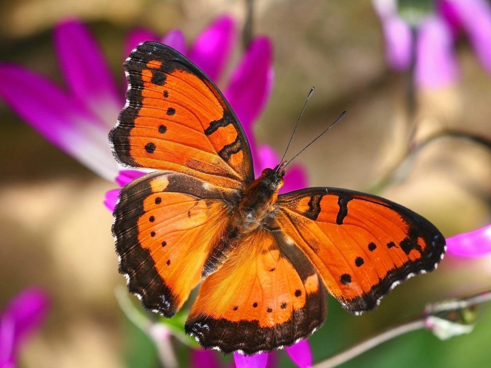 Beautiful Butterflies - Butterflies Wallpaper (9481976 ...
