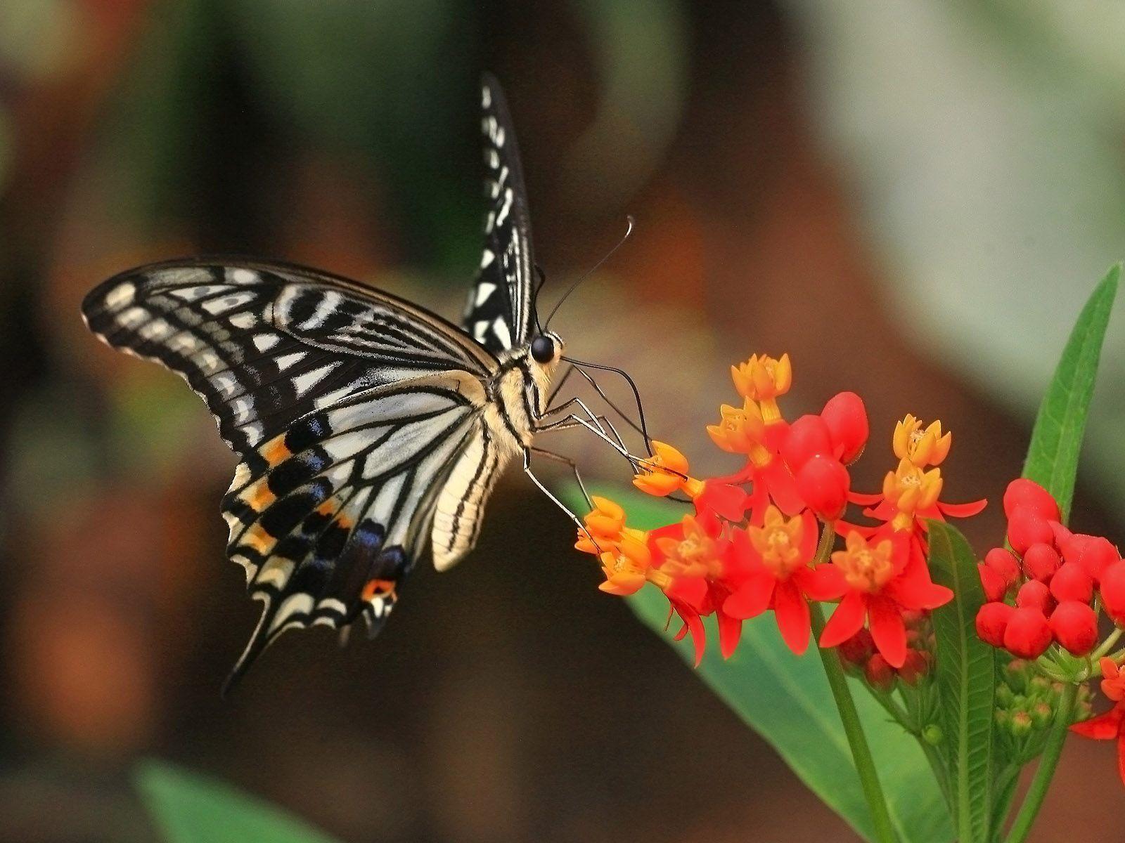 Beautiful butterflies butterflies wallpaper 9481998 for Butterfly in a flower
