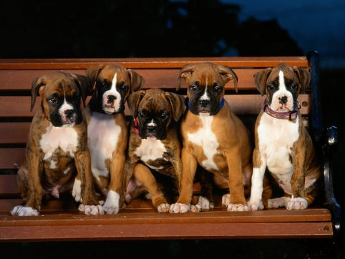 Puppies wallpaper possibly containing a boxer entitled Boxer Puppies