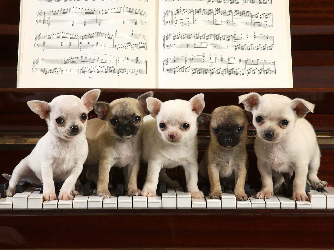 Five Chihuahua puppies staying on the piano
