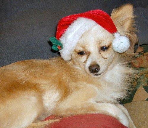 クリスマス チワワ