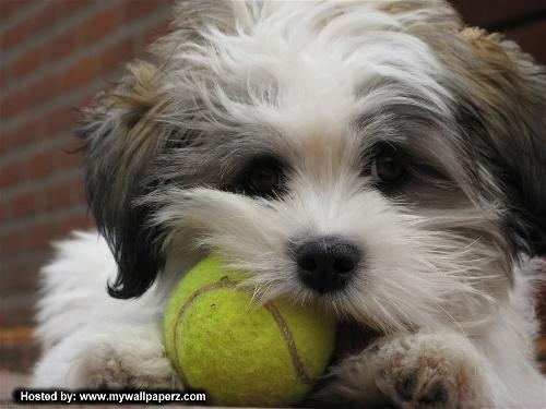 Puppies wallpaper with a tennis racket, a tennis pro, and a tennis player titled Cute Puppy