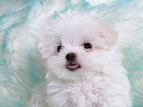 Puppies wallpaper containing a maltese dog titled Fluffy