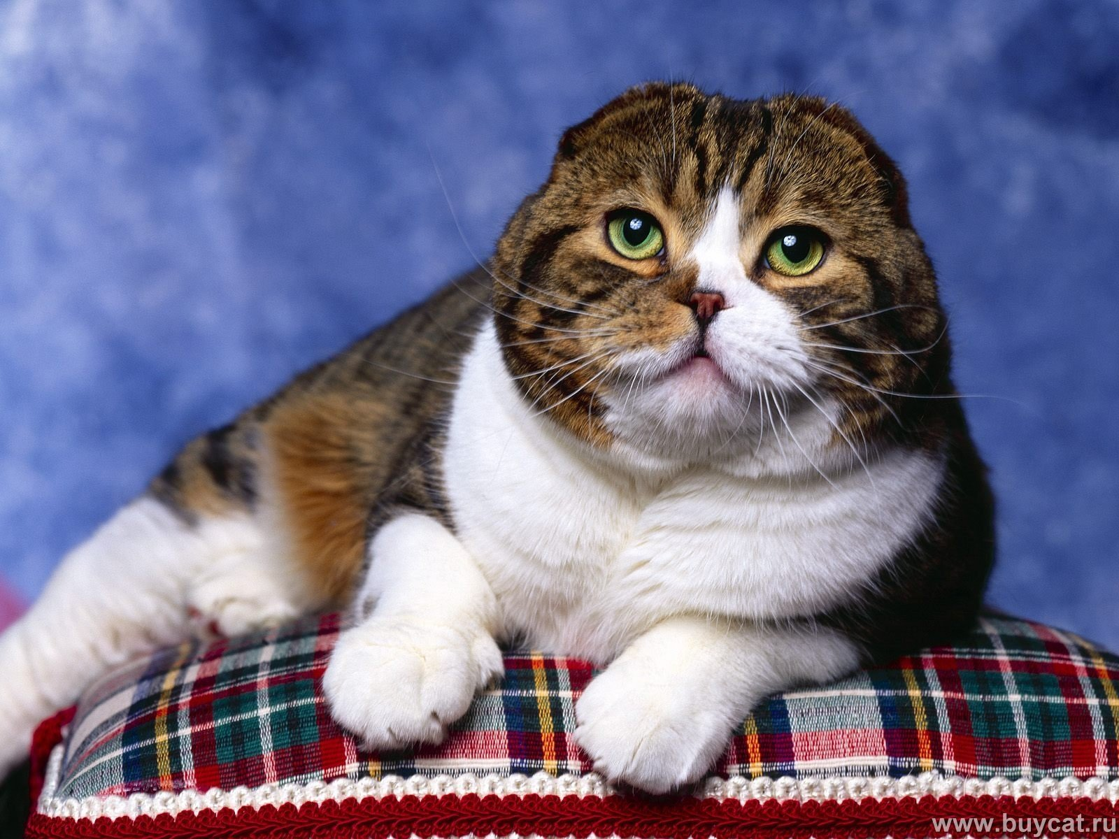 Fat Scottish Fold Cat
