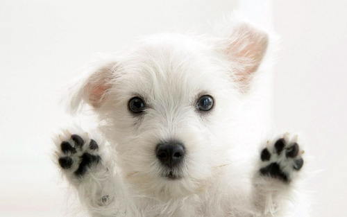 Hello !!! - puppies Wallpaper
