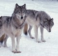 Leave Us Alone - save-the-alaskan-wolves photo