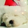 Dogs photo possibly containing a maltese dog called Merry Xmas