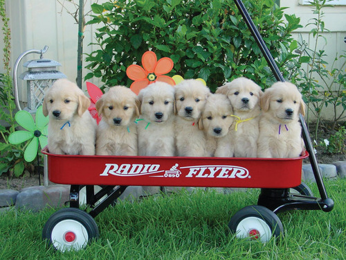 Puppies in a Wagon !