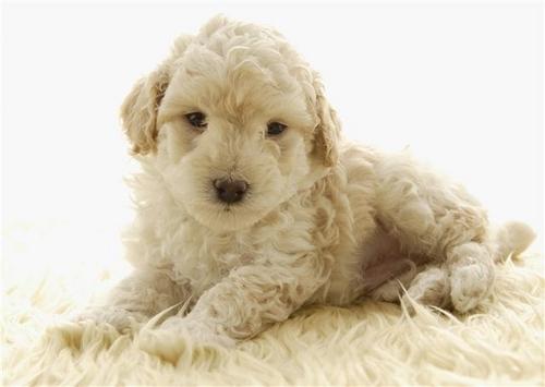 anjing, anak anjing Cinta ♥