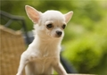 Подскажите питомники где разводят собак маленьких пород: карликовый пинчер, чихуахуа, той терьер?свердловская обл.