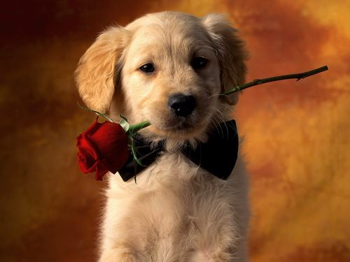 Puppies wallpaper containing a golden retriever titled Puppy Love