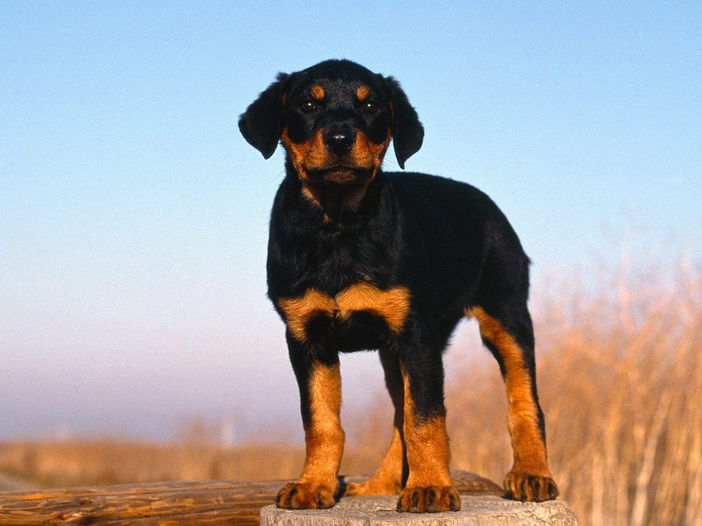 Rottweiler Puppy - Puppies Wallpaper (9460976) - Fanpop