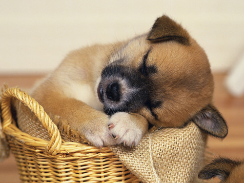 Puppies wallpaper titled Sleepy