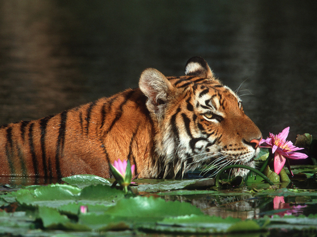 bangladesh images the royal bengal tiger hd wallpaper and background