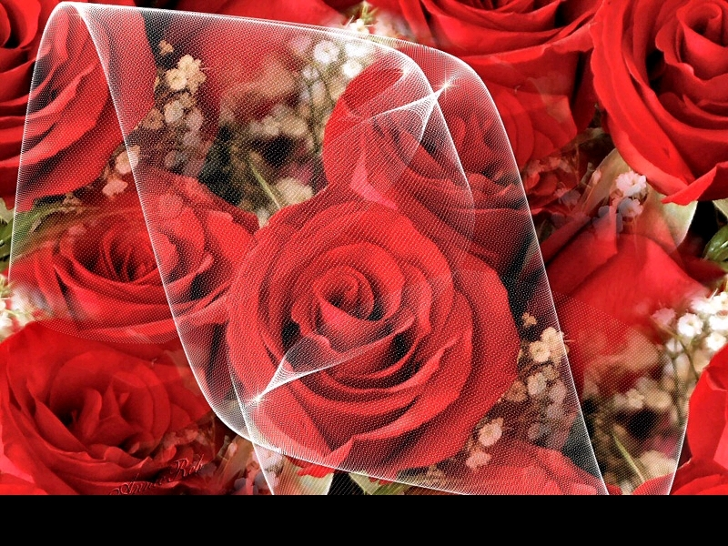 Wallpaper of Red Roses