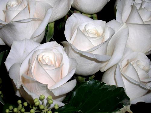fond d'écran of roses