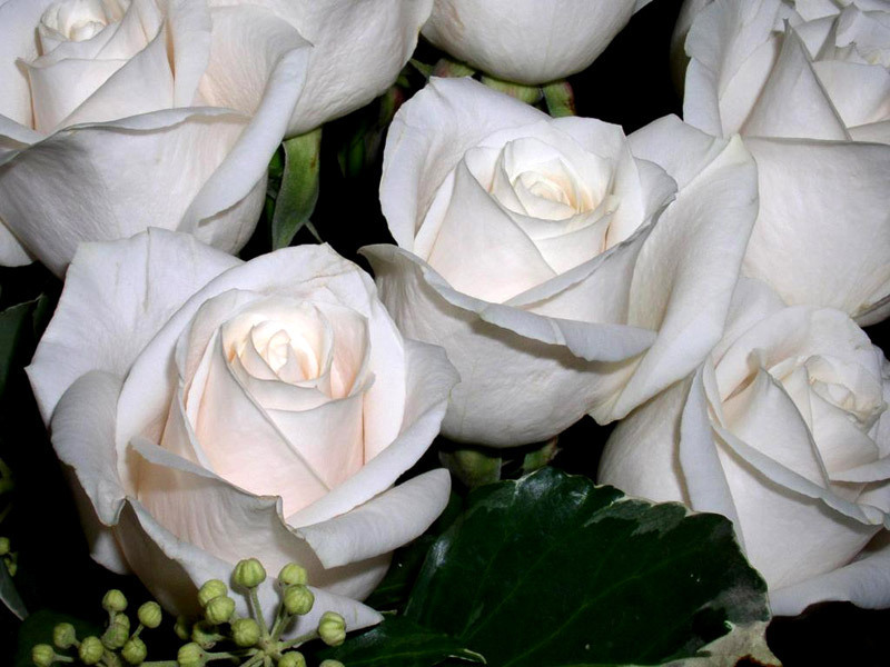 single white rose wallpaper. hairstyles Roses Wallpapers