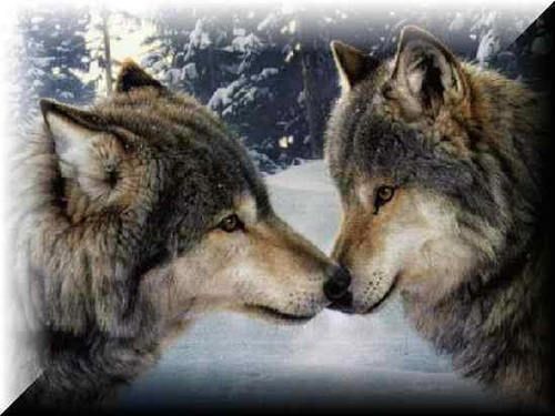 Wolves and Werewolfs wallpaper probably with a timber wolf and a wolf titled Wolves
