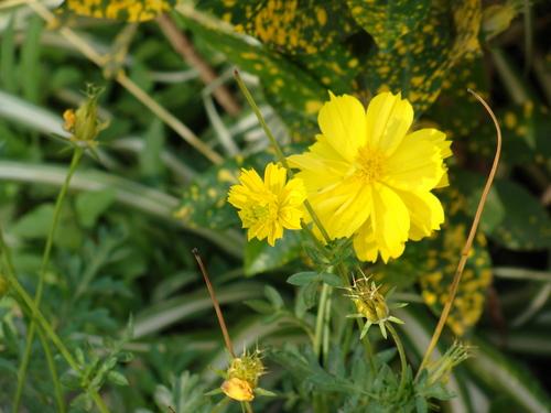Yellow bunga