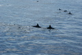 dolphins - hawaii photo