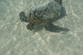 seaturtle - hawaii photo