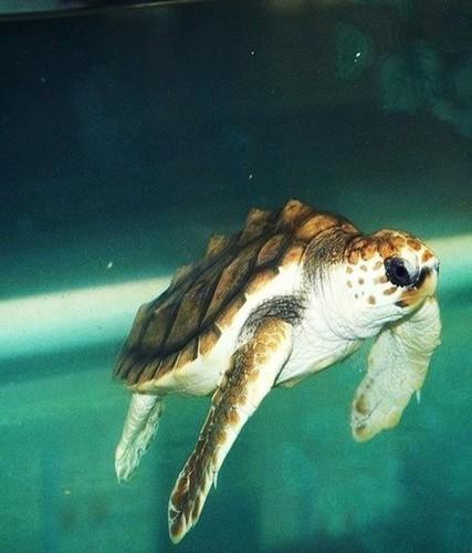 Baby Sea rùa, con rùa