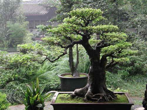 bonsai Hintergrund