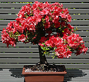 bonsai of azalee