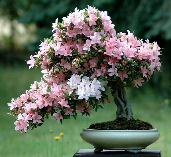 Bonsai of Azalea