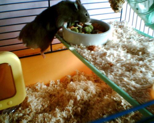 My 仓鼠 (lil cutie) Edward! <3