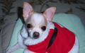 Santa Suit !! - chihuahuas wallpaper