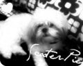 My Doggie (: - shih-tzu fan art
