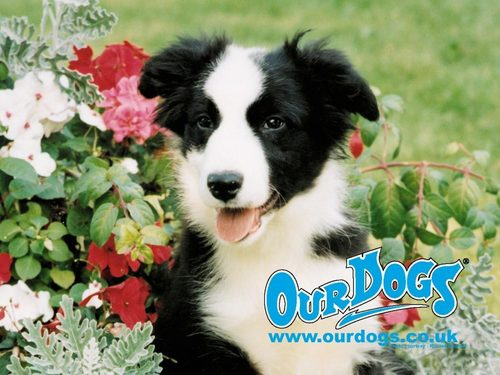 Border collie Pup,Wallpaper