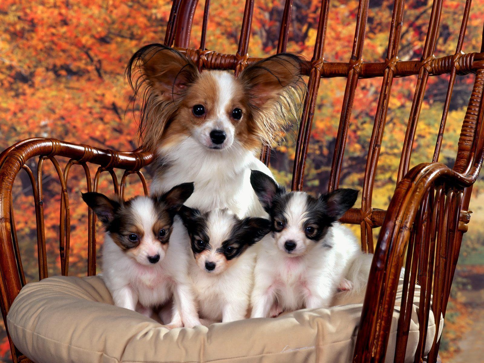 chihuahua & puppies