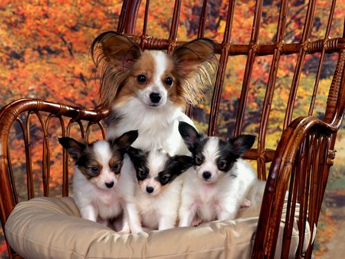 Chihuahua & puppies - puppies Wallpaper