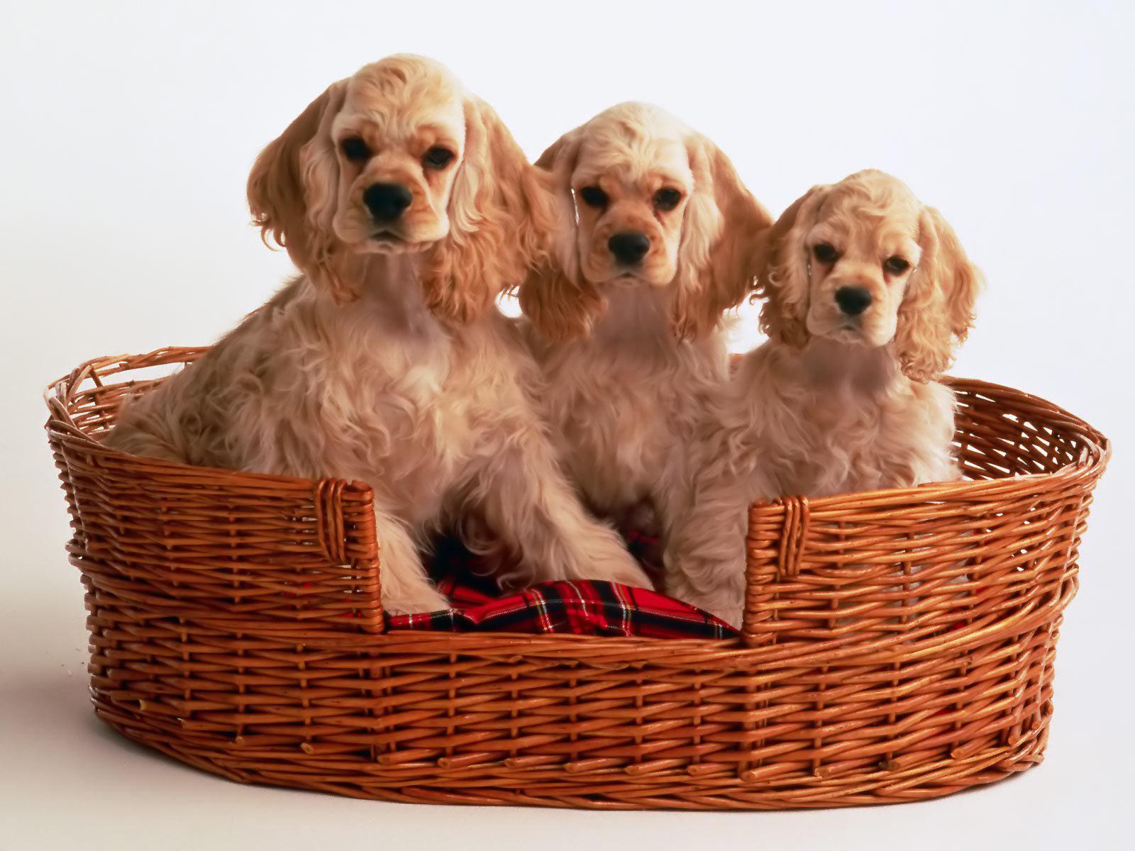 Cocker spaniel, spaniël Puppies