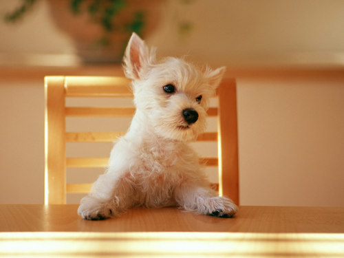 Puppies wallpaper probably with a west highland white terrier entitled Dinner Please !!!