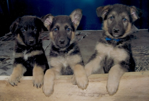 Puppies wallpaper entitled German Shepherd puppies